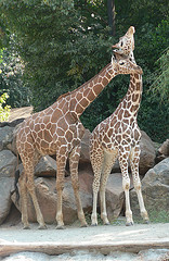 Zoo Atlanta - Giraffe Love!